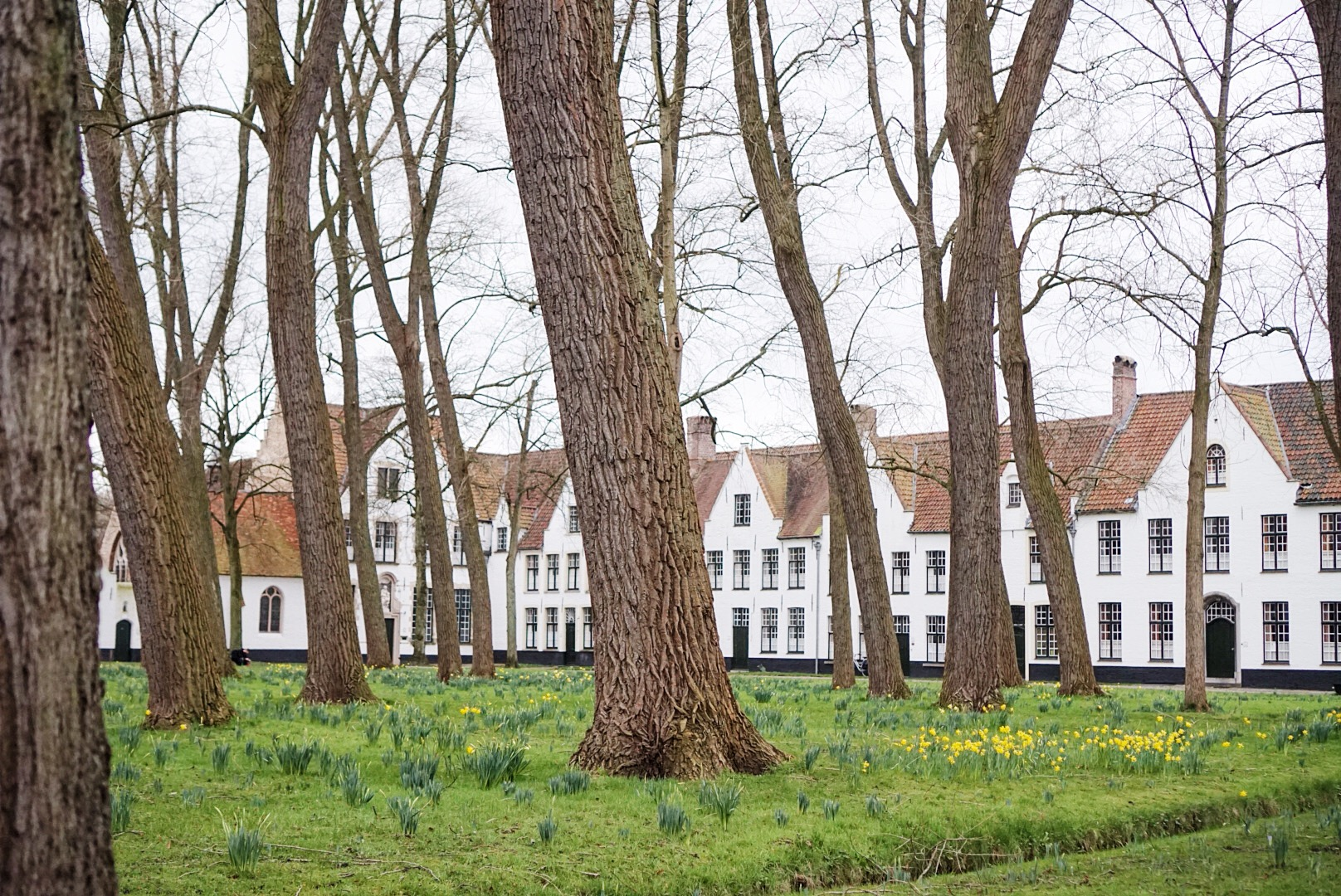 Domy Beginek i kwitnące żonkile. Tak kwitnące żonkile na początku lutego. Witamy w Belgii.